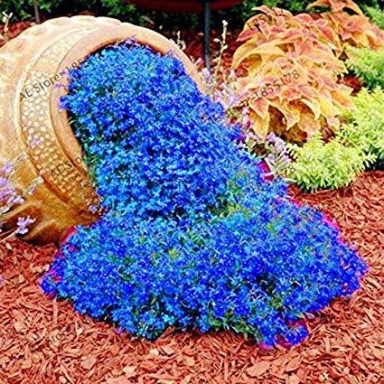 Qulista Samenhaus - 100 pcs Selten Polsterthymian duftend Bodendecker Für Böschungen, Rabatte und Steingärten Blütenteppich Blumensamen winterhart mehrjärhig pflegeleicht