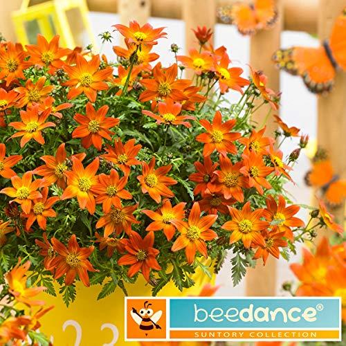 Ultrey Samenshop - Bidens Samen Goldmarie Zweizahn Golden Eye Bohrer Ringelblume Blumengarten Bonsai Samen Blütenmeer für Garten Beet/Wiesen