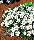 BALDUR Garten Bodendecker winterharte Bergsandblume, 3 Pflanzen Arenaria Montana Sandkraut Steingarten