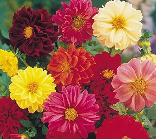 Dahlia Unwin Mix Cut Flower Easy Grow, 25 graines