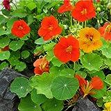 Clovers Garden Nasturtium Plant- Two (2) Live Plants – Not Seeds – in 3.5 Inch Pots
