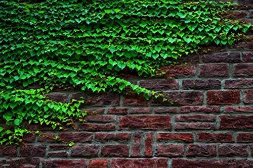 50 pcs/sac Boston Graines anti-rayonnement ultraviolet Ray tigre d'escalade Plantes pour Bricolage & Jardin extérieur Plantes Graines 5
