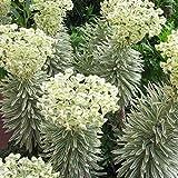 Euphorbia charachias 'Tasmanian Tiger' Herbaceous Perennial Shrub   9cm Pot