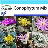 SAFLAX - Set regalo - Conophytum Mix - 40 semillas - Con caja regalo/envío, etiqueta para envío, tarjeta de felicitación y sustrato de cultivo y fertilizante - Conophytum Mix
