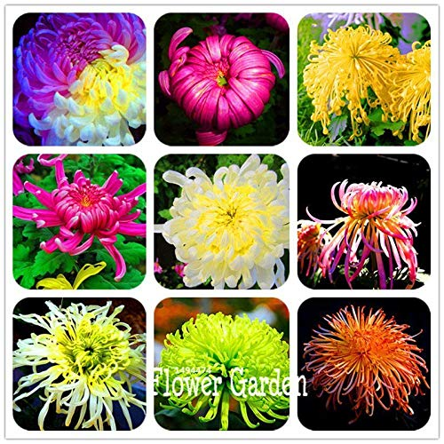 Portal Cool Blanc: 100 Pcs Belle Colorful Hibiscus Coral Garden Balcon Graines Utar Potted