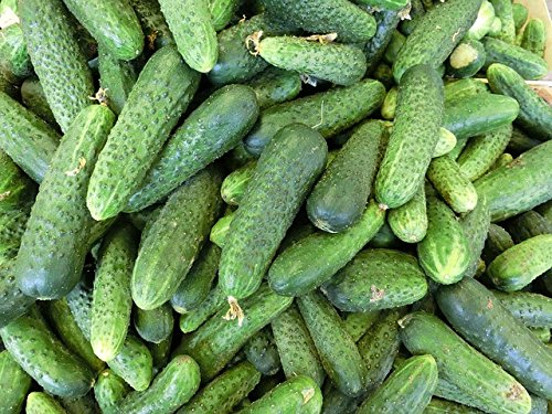 150 Boston cornichons Cucumis Sativus d'antan de concombre Fruits Légumes Graines