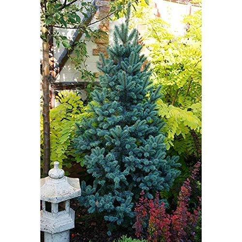 Picea pungens - Blaufichte - Fastigiata SDL 1-100 - 125 cm - 1 Stk