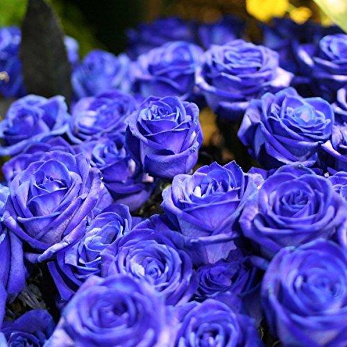 Ncient 50 pcs/Sac Graines Semences de Rose Couleur Bleue de Graines Fleurs Graines à Planter Plante Rare de Jardin Balcon Vivaces Belle Floraison Bonsaï en Plein Air pour l'Intérieur et l'Extérieur