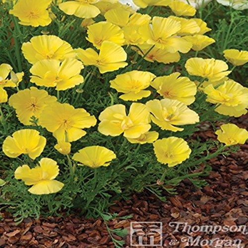 Graines de Pavot de Californie Butter Bush - Eschscholzia californica
