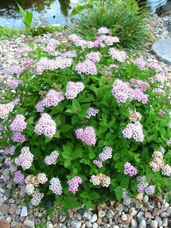 Zwerg Spiere Spieraea japonica Little Princess 20 - 30 cm hoch im 3 Liter Pflanzcontainer