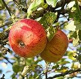 Apfelbaum Goldparmäne Apfel Goldparmäne - Malus Goldparmäne Containerware 120-160 cm hoch