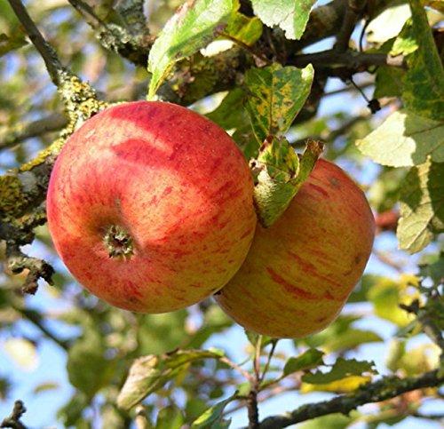 Apfelbaum Goldparmäne Apfel Goldparmäne - Malus Goldparmäne Containerware 120-160 cm hoch, Obstbaum kaufen