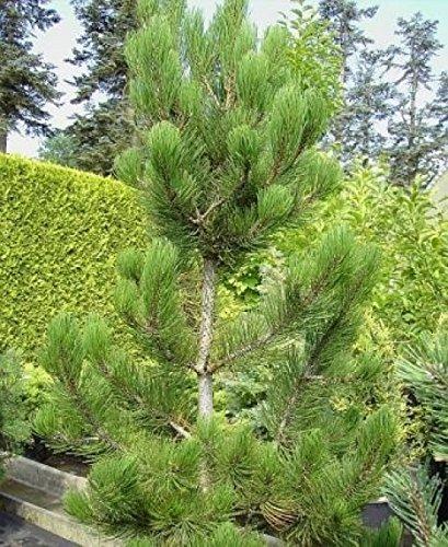 Baumschule Pflanzenvielfalt Pinus leucodermis (heldreichii) Satellit - Schlangenhautkiefer, bosnische Kiefer Satellit