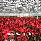 100 pc / sacchetto, semi di stella di natale, euphorbia pulcherrima, piante in vaso, stagioni di semina, piante da fiore