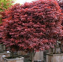 rhode island red maple