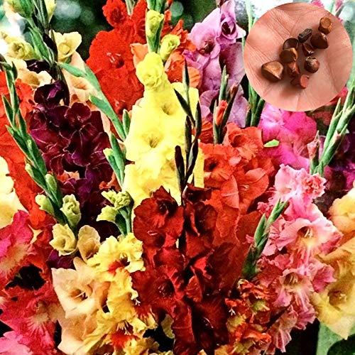 Gladiolen Samen, 100Pcs / Beutel Gladiolen Samen elegante Ästhetik Mix Farbe Schwertlilie Samen für den Garten