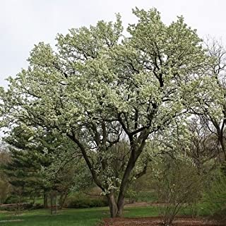 Manchurian Flowering Pear Tree Seeds (Pyrus ussuriensis) 20+Seeds