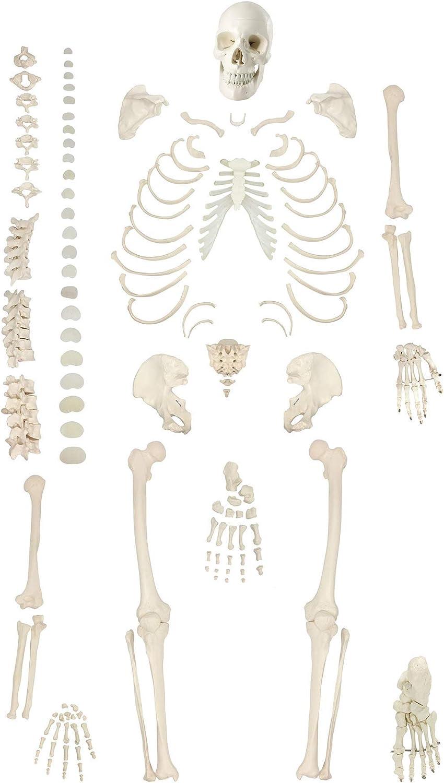 XYSQWZ Whole Human Anatomical Inexpensive Ske Skeleton Model Life-Size San Diego Mall