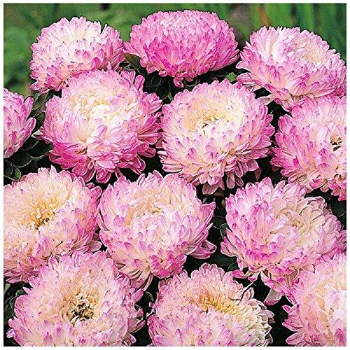 Lot 50 graines de Reine Marguerite Garden Jewel Rose - plantes annuelles