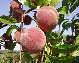 Portal Cool Peaches Heirloom Orangic 10 Seeds Pink Flower Sweet Peach Fruit Tree