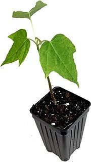 Sunrise Papaya Carica Live Plant