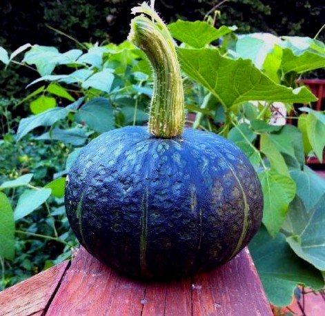 Organische Heirloom 10 Samen japanischer Kürbis Kürbis Orange Schwarz Obst Sehr süßes Aroma Rebe Kletterpflanze Kabocha F27