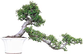 Brussel's Live Chinese Elm Specimen Outdoor Bonsai Tree - 30 Years Old; 36