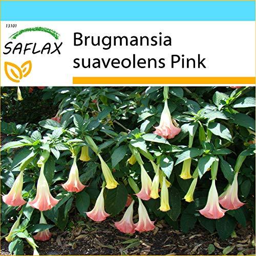 SAFLAX - Confezione regalo - Trombone d'angelo rosa - 10 semi - Brugmansia suaveolens Pink