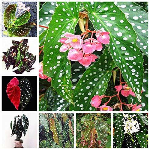 Bloom Green Co. 100 Unids/bolsa Begonia Bonsai Flor Planta Jardín Terraza Exterior Color Hoja Begonia Planta En maceta Familia Jardín Perenne Siembra: mixta