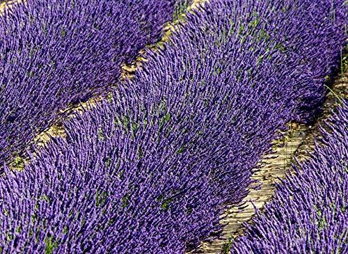 5000 frische Samen, echter Lavendel, Lavandula angustifolia, Ernte Okt. 2020