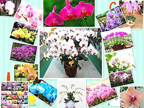 Graines Papillon 10pcs vente chaude Bonsai Balcon Fleur d'orchidée Phalaenopsis ciel bleu bricolage jardin