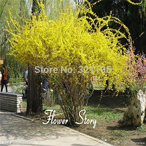 Livraison gratuite, vente chaude 50 forsythia Graines annonciatrices du printemps, au début, l'affichage prolifique de fleurs jaunes brillantes.