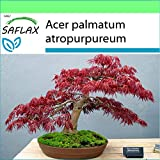 SAFLAX - Garden to Go - Acero palmato rosso - 20 semi - Acer palmatum atropurpureum