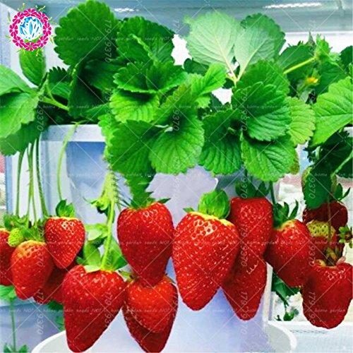 300pcs / lait graines de fraises graines rares fruits bio intérieur dans les graines Bonsai.100% de véritables fraises pour plantes en pot de jardin à domicile