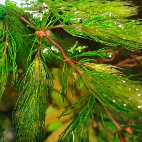 Hornkraut Rote Stiele - Raues Hornblatt / Ceratophyllum demersum Rotstengelig - 3 Bund