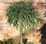 Hochstamm Gelbe Fadenzypresse 40-60cm - Chamaecyparis pisifera