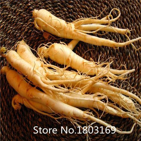 Médecine traditionnelle Angelica Plant Seeds 100pcs, Famille Apiaceae Dong Quai Herb Seeds, Angelica chinois Graines de ginseng féminin G