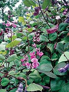 Purple Hyacinth Bean Seeds - Very Colorful vining plants! Ruby-purple bean-pods(10 - Seeds)