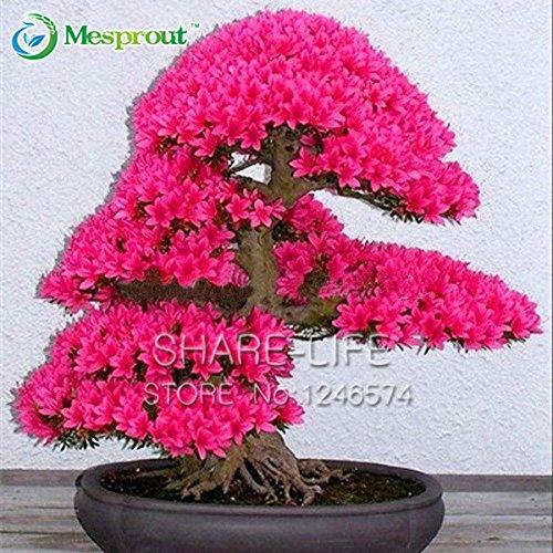 10PCS japonaise Sakura Graines Bonsaï Seed Flower Garden Graines de fleurs de cerisier