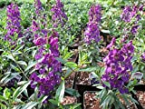 Angelonia at the Greenhouse (English Edition)
