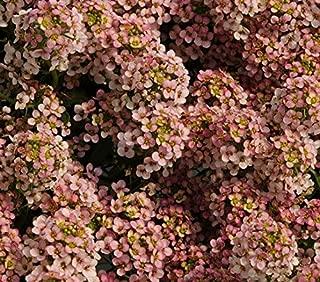500 Sweet Alyssum Pastel Carpet Mix Lobularia Maritima Flower Seeds #SFB