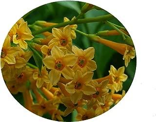 Best orange jessamine for sale Reviews