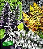 BALDUR Garten Winterharte Japanische Schmuck-Farn-Kollektion, 3 Pflanzen Dryopteris, Athyrium Gartenfarn mehrjährig