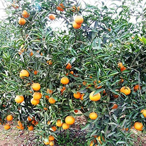 Semillas de naranjo Madarin Mandarina Arboles de Kumquats Semillas de frutas Semillas de plantas de frutas Bonsai -20pcs