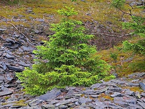 Fichte Picea abies 130 Samen
