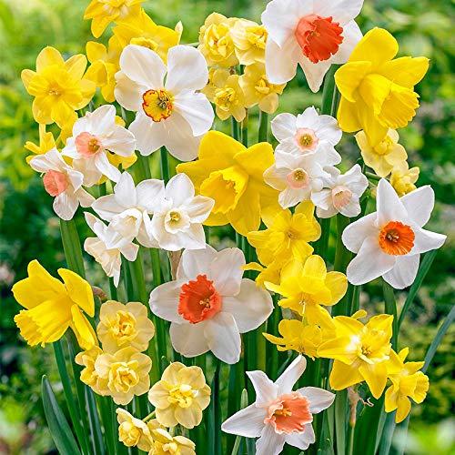 Bulbos de Flores (10 X Narcisos en mezcla)