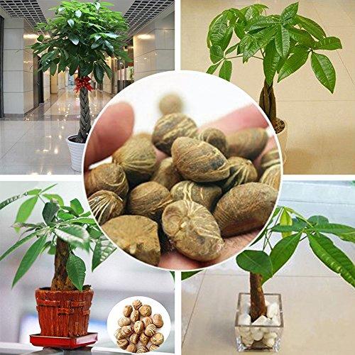 XdiseD9Xsmao Mini Pachira Macrocarpa Zaden Groene Plant Zaden Geld Boom Bonsai Pot Indoor Balkon Binnenplaats Plant Decor