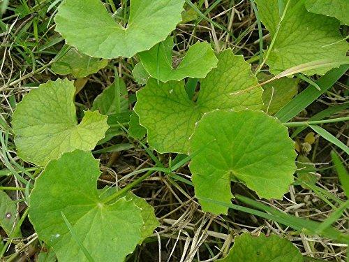Asklepios-seeds® - 250 Samen Centella asiatica, asiatischer Wassernabel, Tigergras Gotu Kola