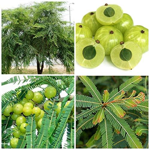 ScoutSeed 10 semillas de Phyllanthus emblica, Amla, grosella espinosa india, semilla, C