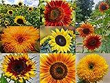 Sonnenblumen Samen im Set: 8 Sorten Sonnen Blumen Saatgut viele Farben: rot gelb orange bronze, lat. Helianthus annuus, Sonnenblumensamen Mix, Mischung bunte gefüllte Blumensamen (150 Samen)